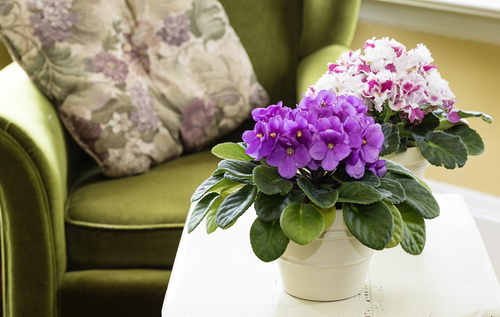 African violet flowering houseplant - Rushfields