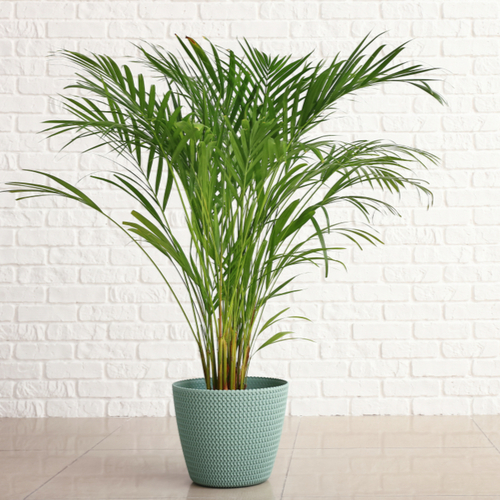 Areca Palm - Rushfields
