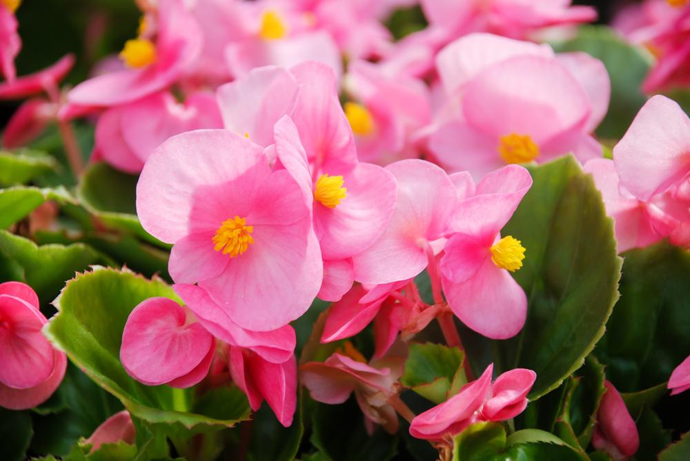 Begonia - Rushfields