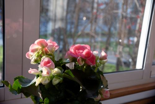 Begonias flowering house plant - Rushfields