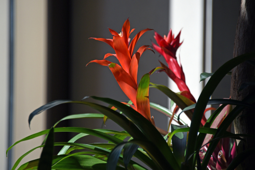 Bromeliad flowering houseplants - Rushfields