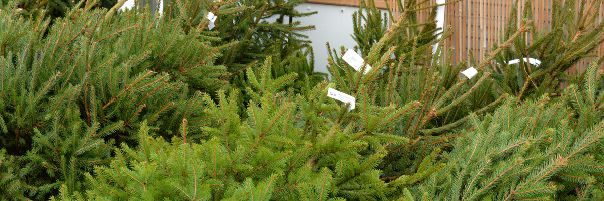 Christmas trees - Rushfields