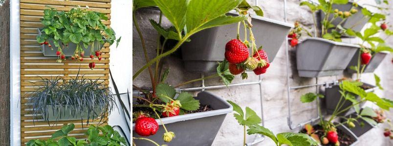 Container fruit - Rushfields
