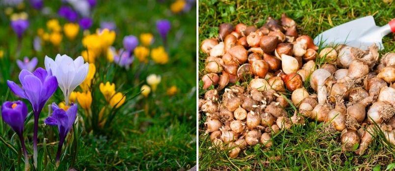 Crocus autumn bulbs - Rushfields