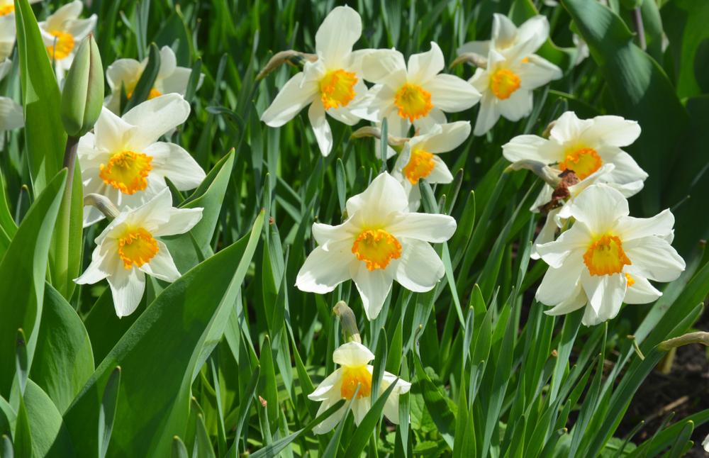 Daffodils - Rushfields