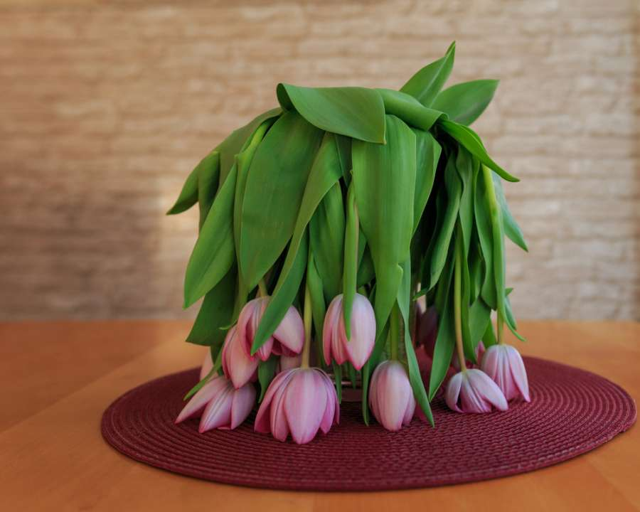 Drooping tulips - Rushfields