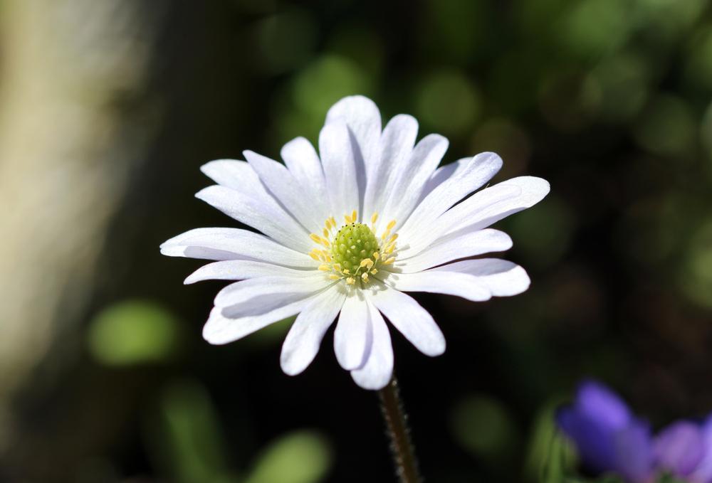 Grecian Windflower - Rushfields