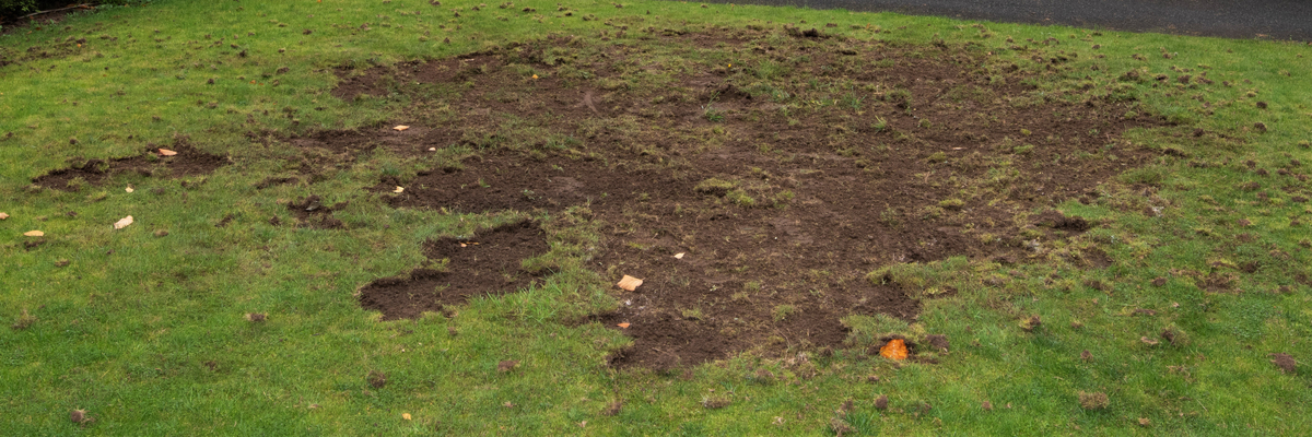 Grubs in the lawn - Trowbridge