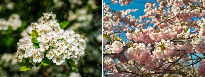 Hawthorn Prunus x subhirtella - Rushfields