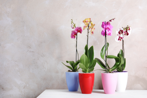 Orchids flowering houseplants - Rushfields