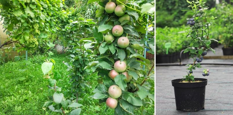 Patio fruit trees - Rushfields