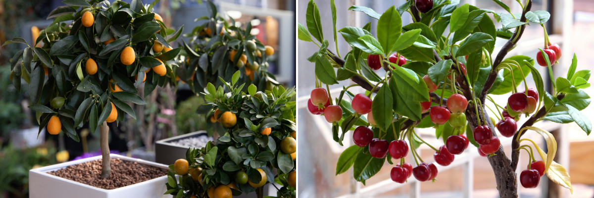 Patio fruit trees - Rushfields
