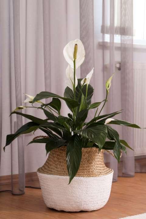 Peace Lily - Rushfields