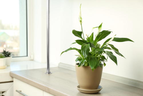 Peace lily flowering houseplants - Rushfields