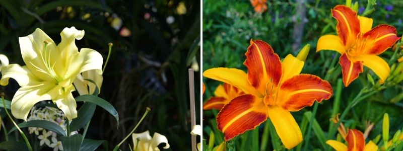 Perennials Daylilies - Rushfields