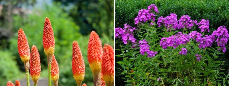 Perennials for late summer - Rushfields