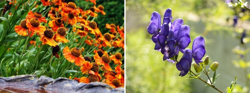 Perennials for late summer garden plant - Rushfields