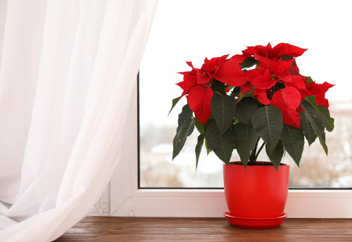 Poinsettia flowering houseplants - Rushfields