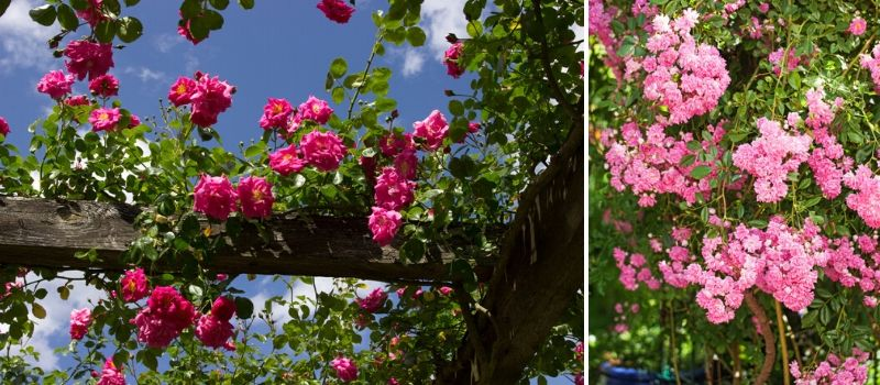 Roses ramblers and climbers - Rushfields