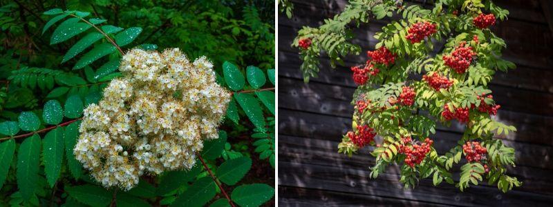 Rowan (Sorbus spp)  - Rushfields