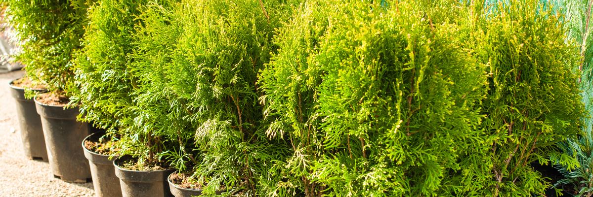 Shrubs for your garden - Rushfields