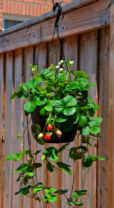 Strawberry fruit - Rushfields