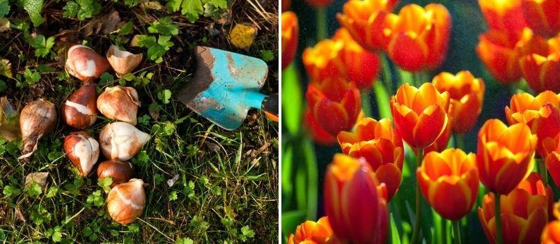 Tulip autumn bulbs - Rushfields