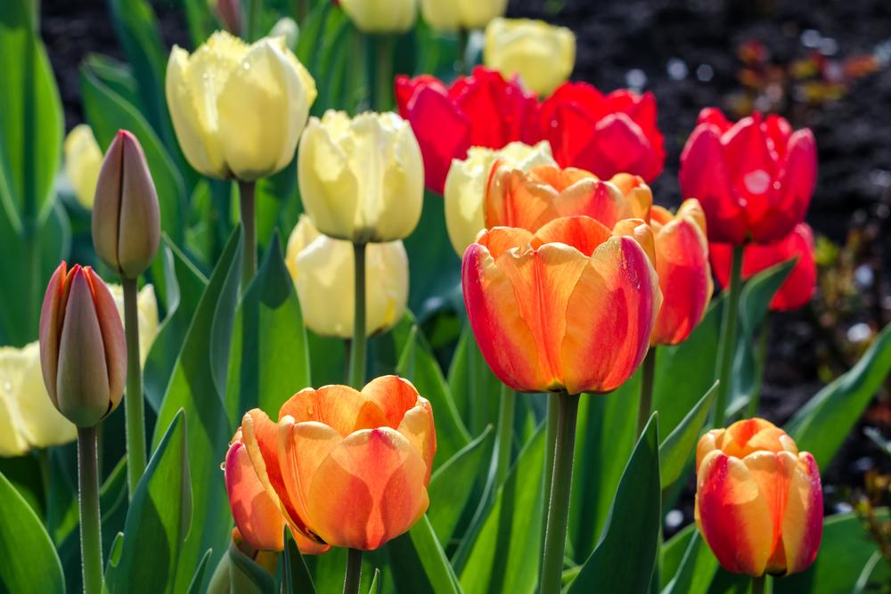 Tulips in spring - Rushfields