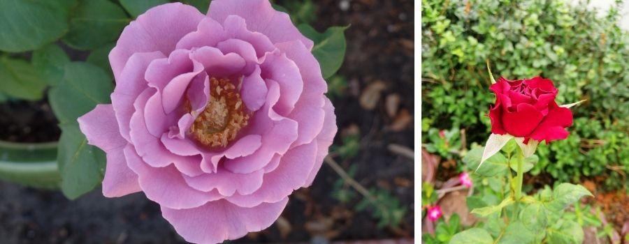 rosesforscent